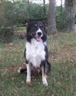 Hyouk border collie